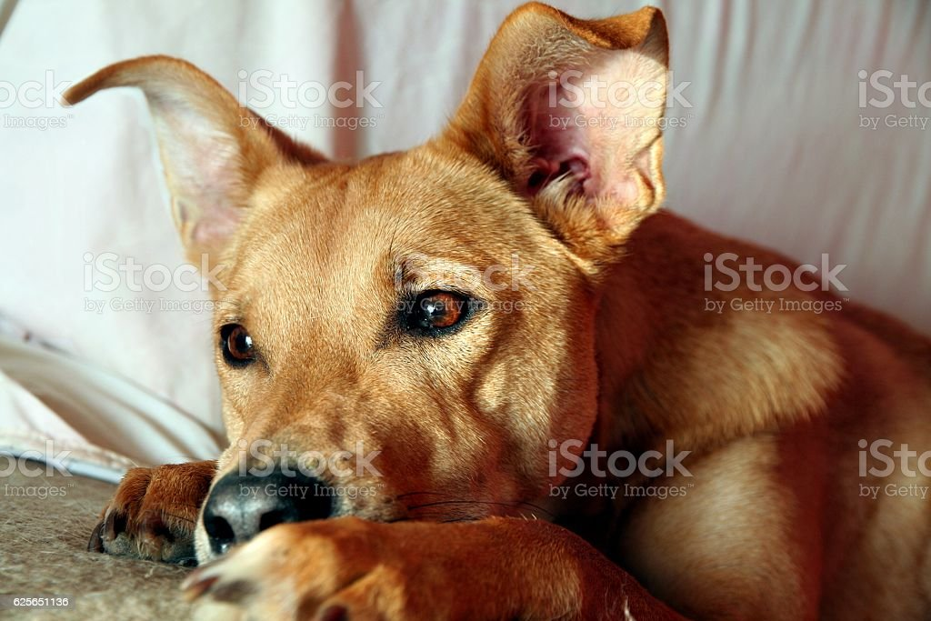 Portrait of a tawny mixed-breed dog resting on sofa stock photo
