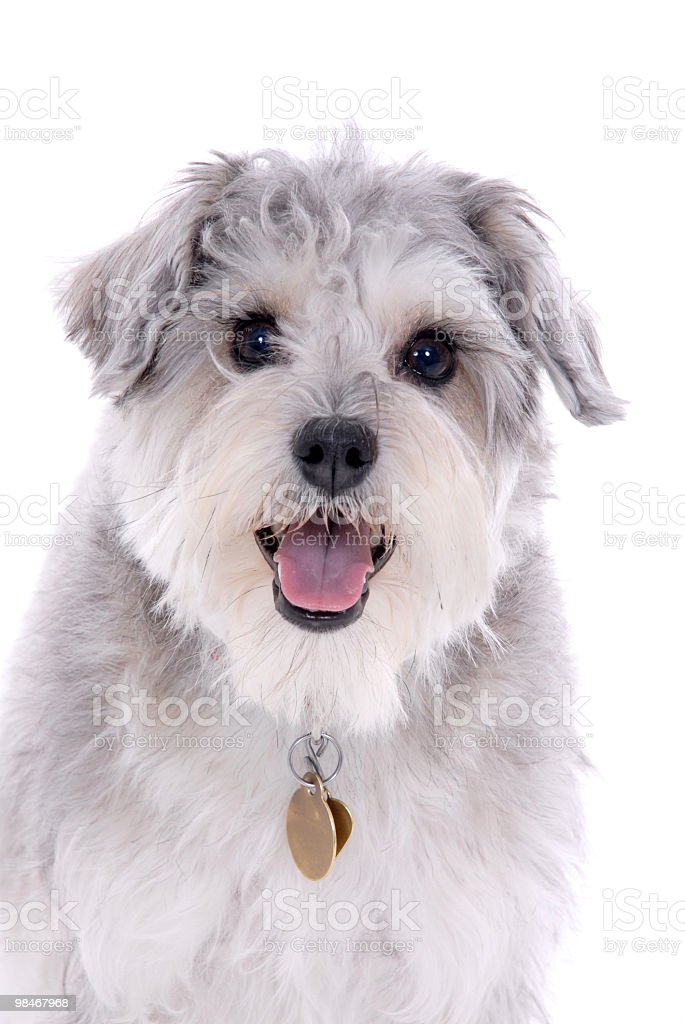 Portrait of a Terrier mix royalty-free stock photo