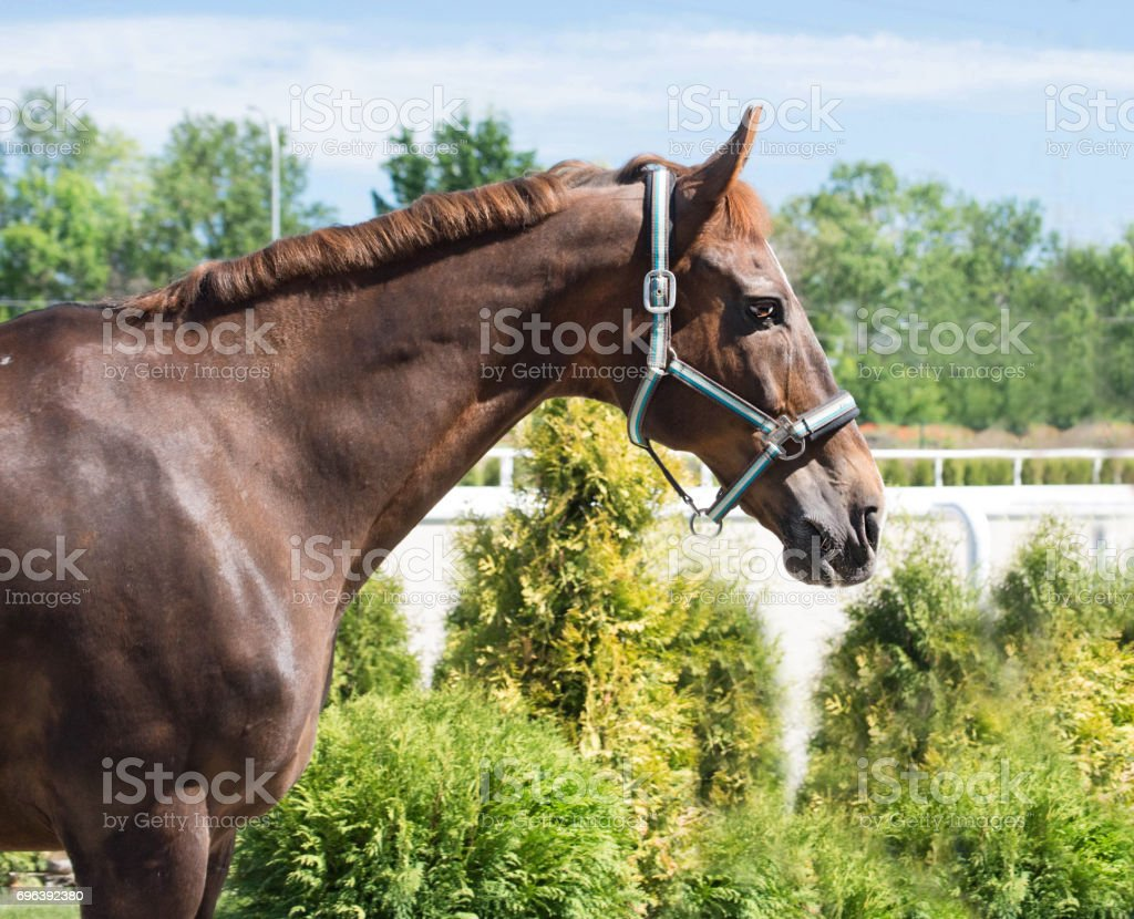 Portrait of a thoroughbred horse on blue sky background. Dressage with beautiful brown horse closeup, equestrian sport. stock photo