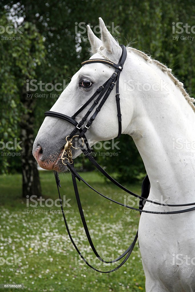 Portrait of a thoroughbred young lipizzaner horse stock photo