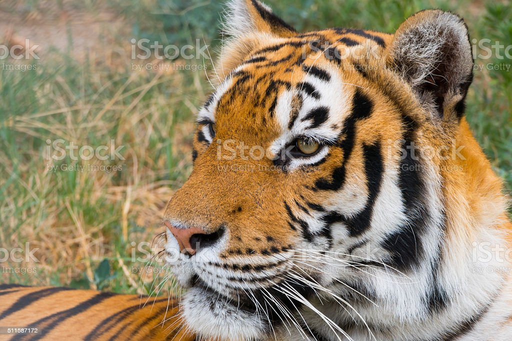 Portrait of a tiger - close uo stock photo