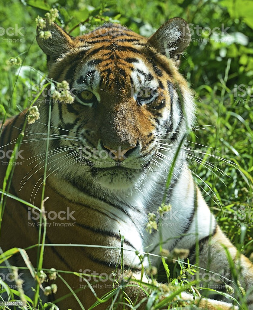 Portrait of a Tiger royalty-free stock photo