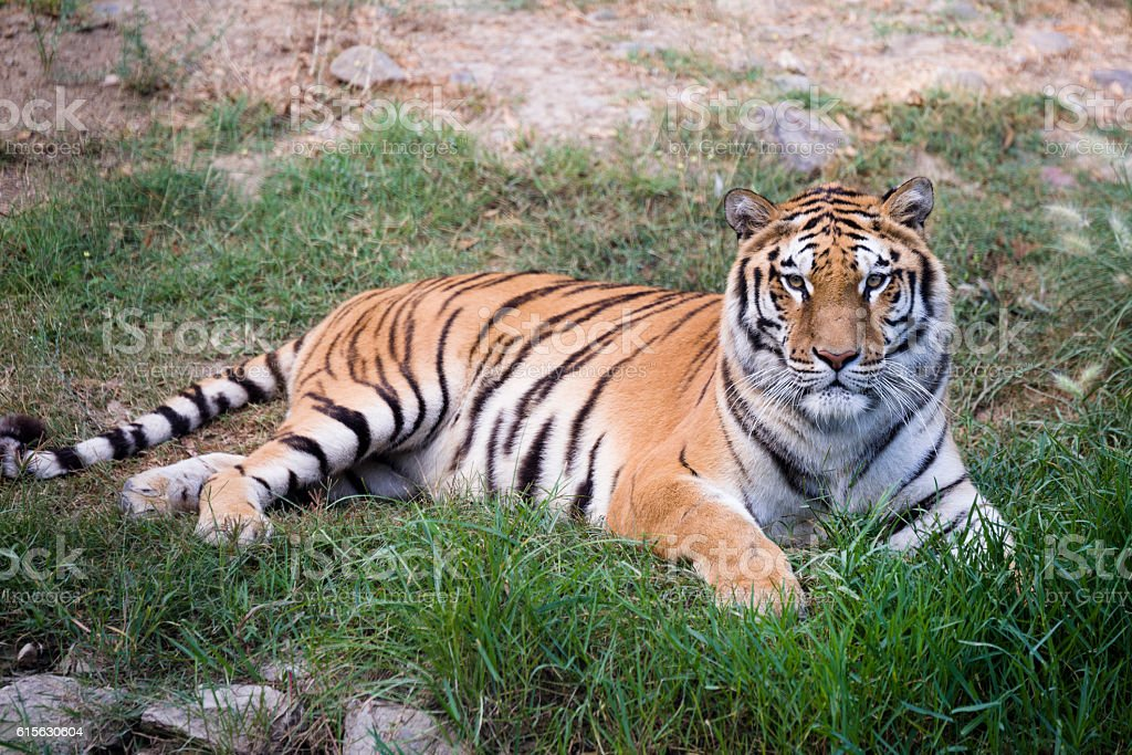Portrait of a tiger. stock photo
