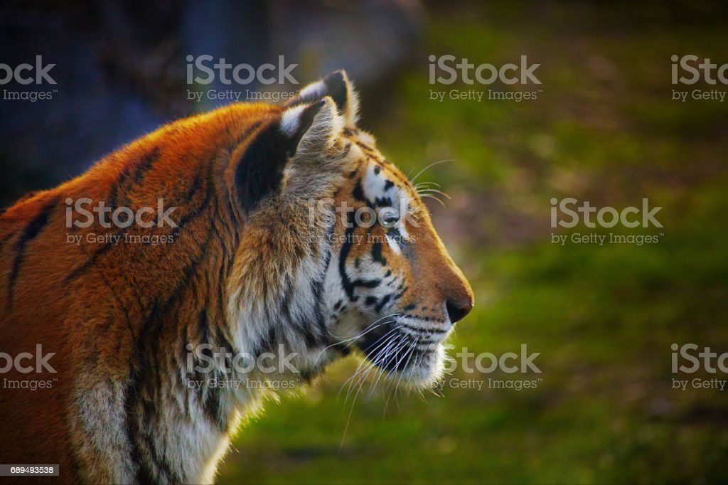 Portrait of a tiger very close stock photo