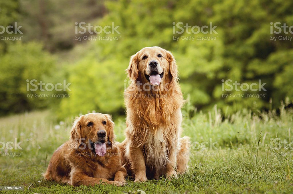 Portrait of a two  dogs stock photo