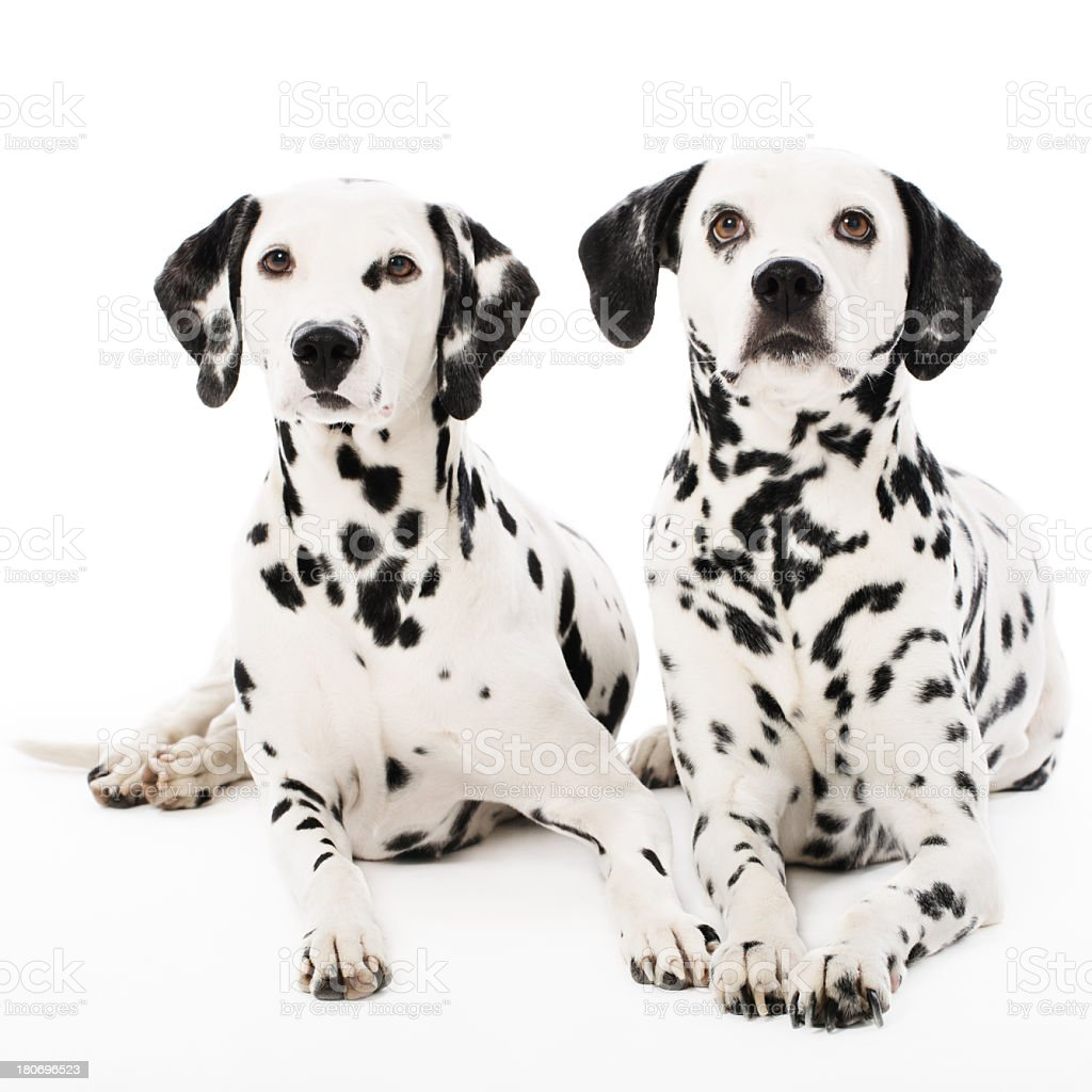Portrait of a two purebred dalmatian royalty-free stock photo