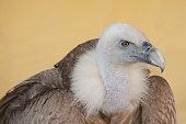 Portrait of a vulture