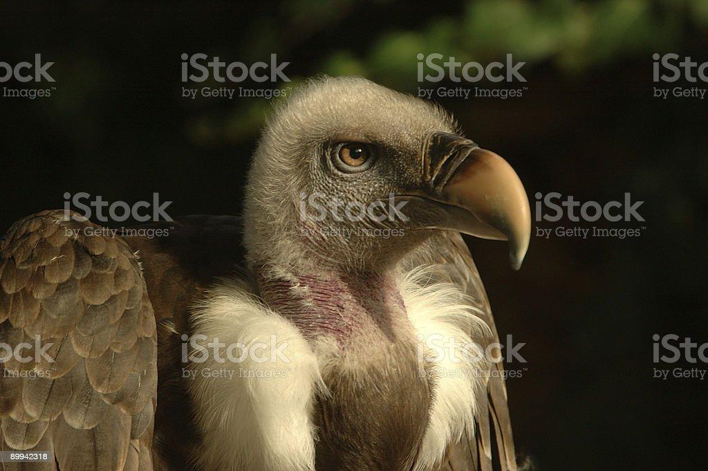 portrait of a vulture stock photo