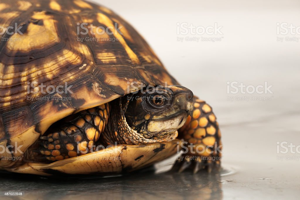 Portrait of a walking box turtle stock photo