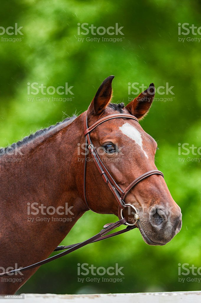 Portrait of a Warmblood Horse stock photo