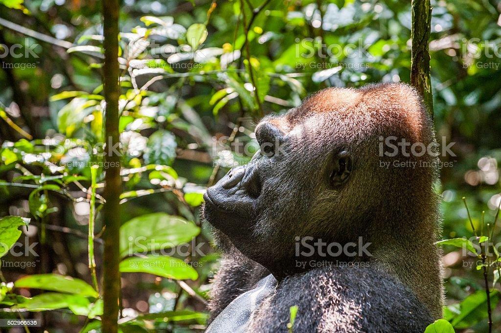 Portrait of a western lowland gorilla stock photo