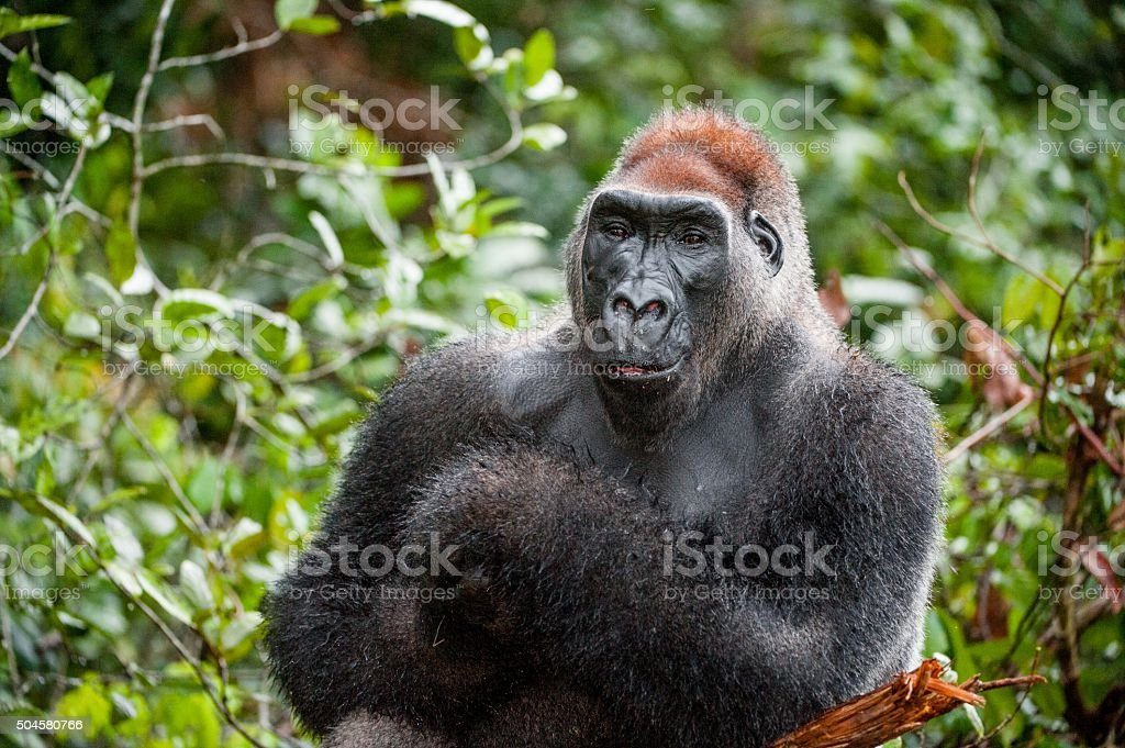Portrait of a western lowland gorilla stock photo