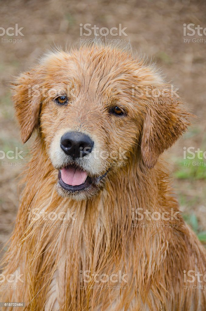 Portrait of a Wet Golden Retriever stock photo