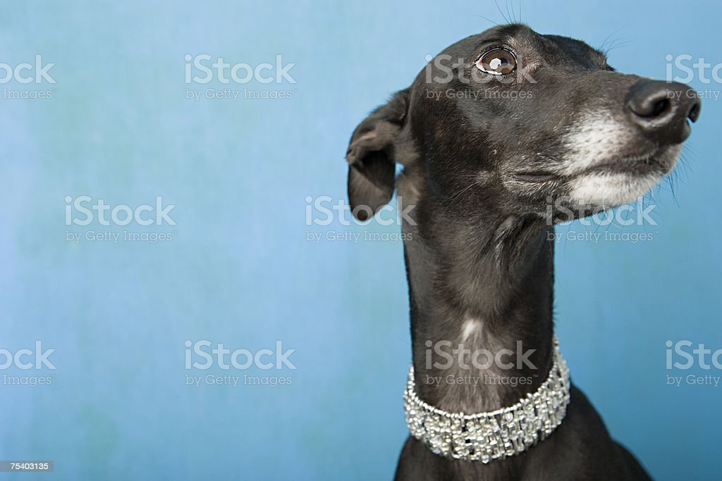 Portrait of a whippet stock photo