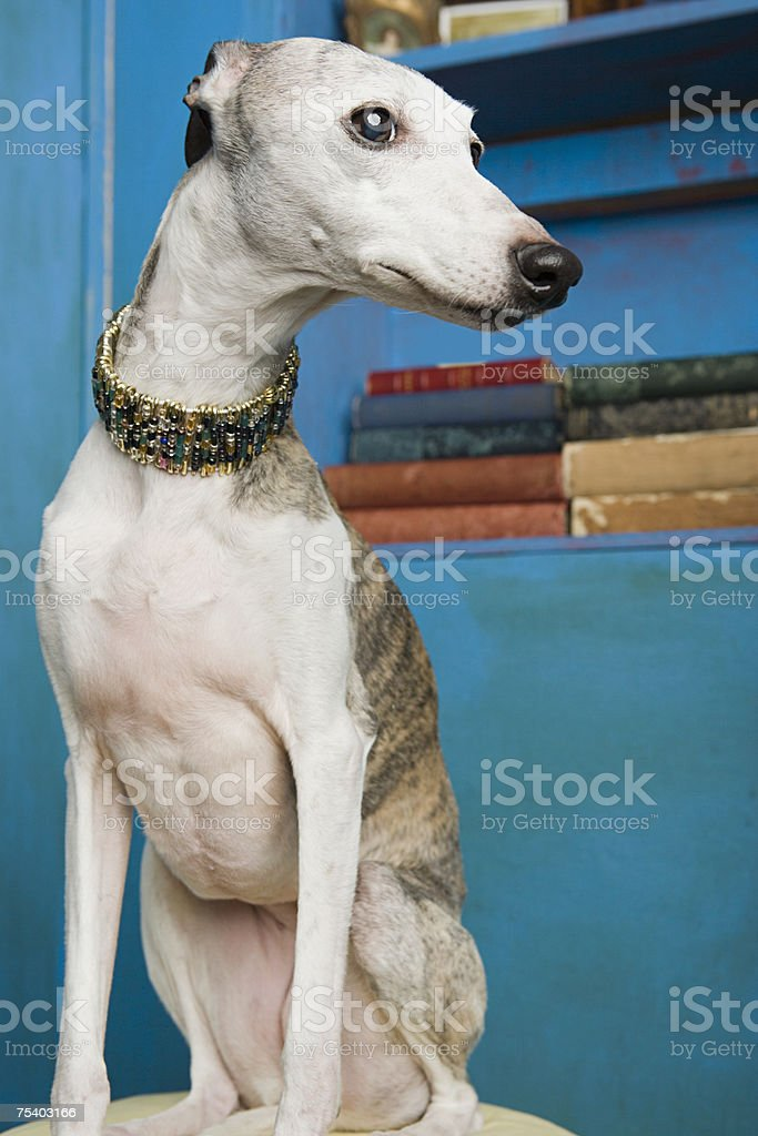 Portrait of a whippet royalty-free stock photo