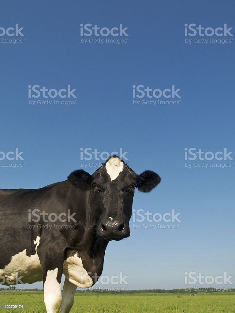 Portrait of a white and black dairy cow under clear blue sky royalty-free stock photo