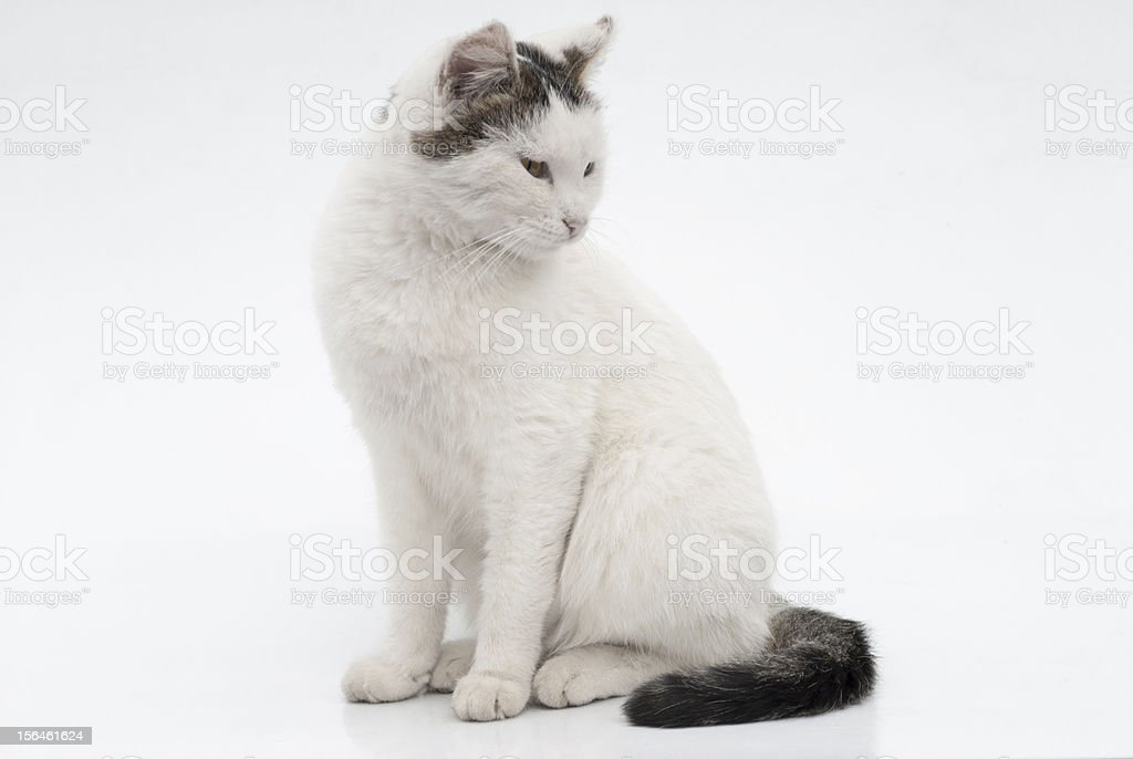 Portrait of a white cat royalty-free stock photo
