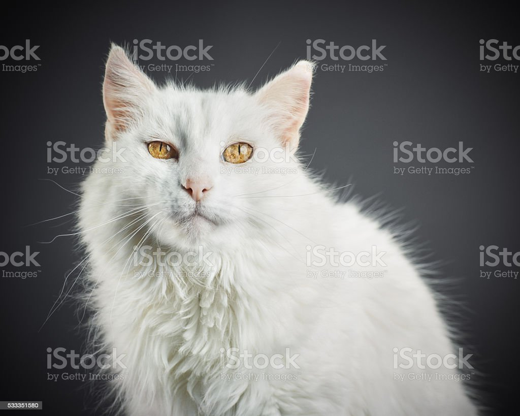 Portrait of a white cat with yellow eyes. stock photo