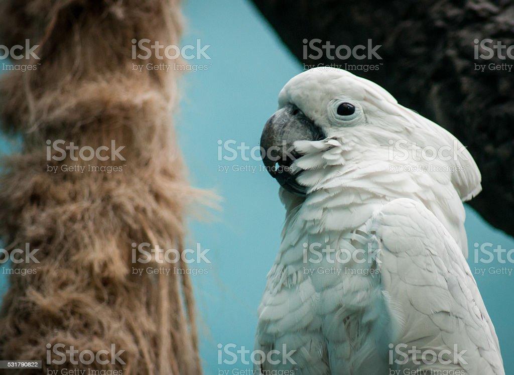 Portrait d'un blanc de cockatoo photo libre de droits