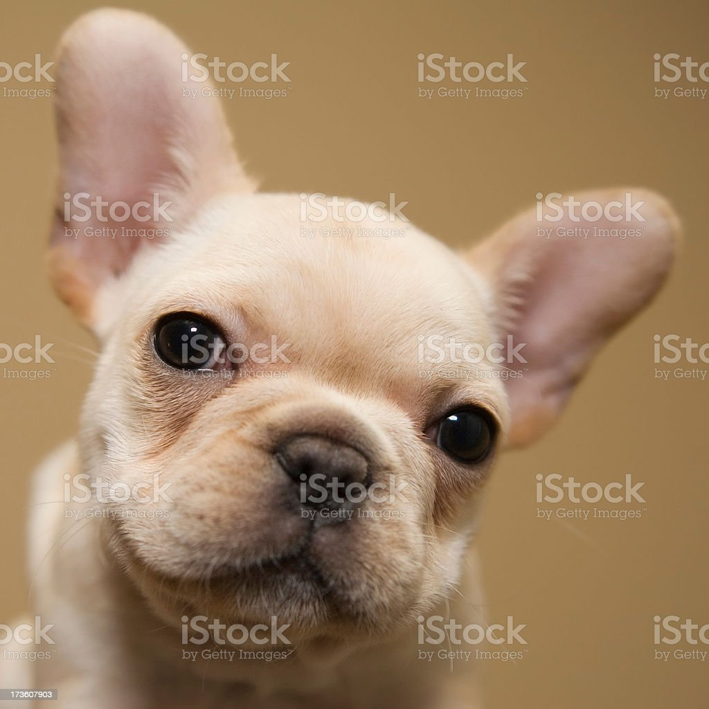 Portrait of a white French bulldog with big ears and eyes royalty-free stock photo