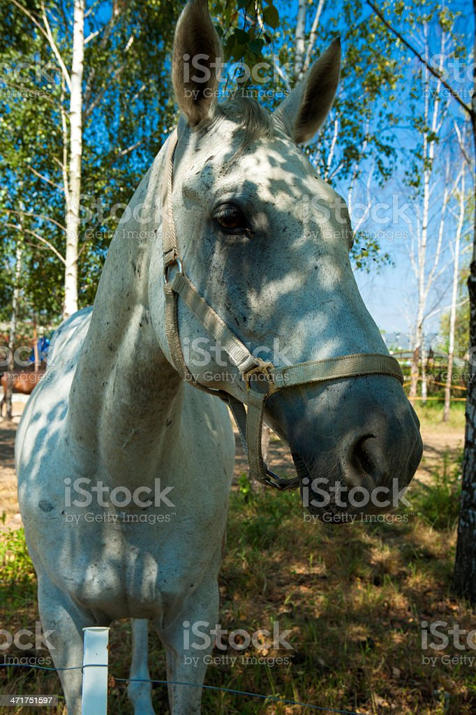 Portrait of a white horse royalty-free stock photo