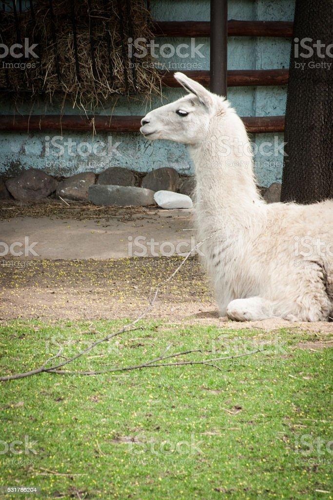 Portrait de blanc lama photo libre de droits