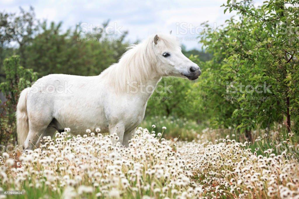 Portrait of a white pony. stock photo
