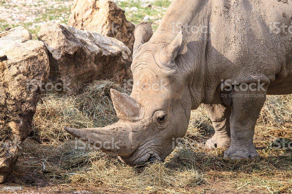 Portrait of a white rhinoceros grazing stock photo