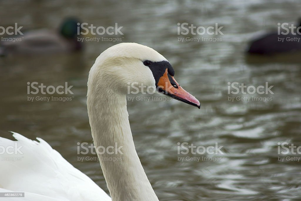 Portrait of a white swan stock photo