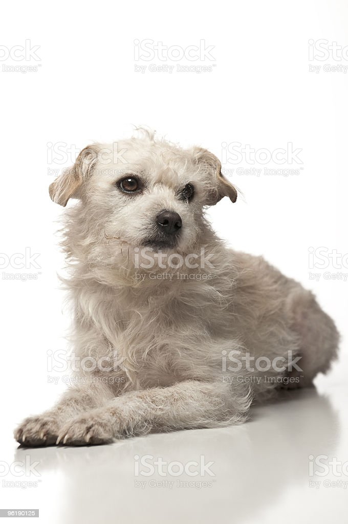 Portrait of a White Terrier Dog stock photo