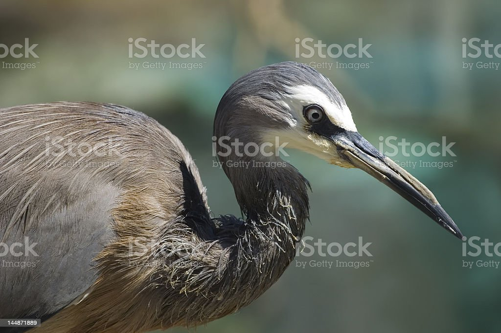 Portrait of a white-faced heron royalty-free stock photo
