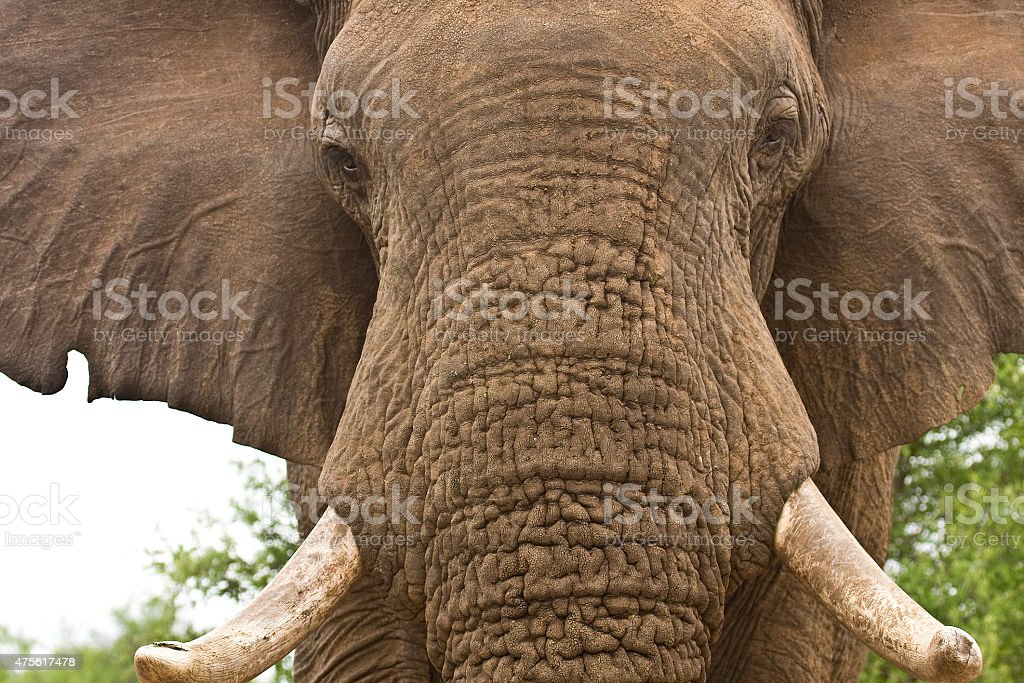 portrait of a wild african elephant in Africa stock photo