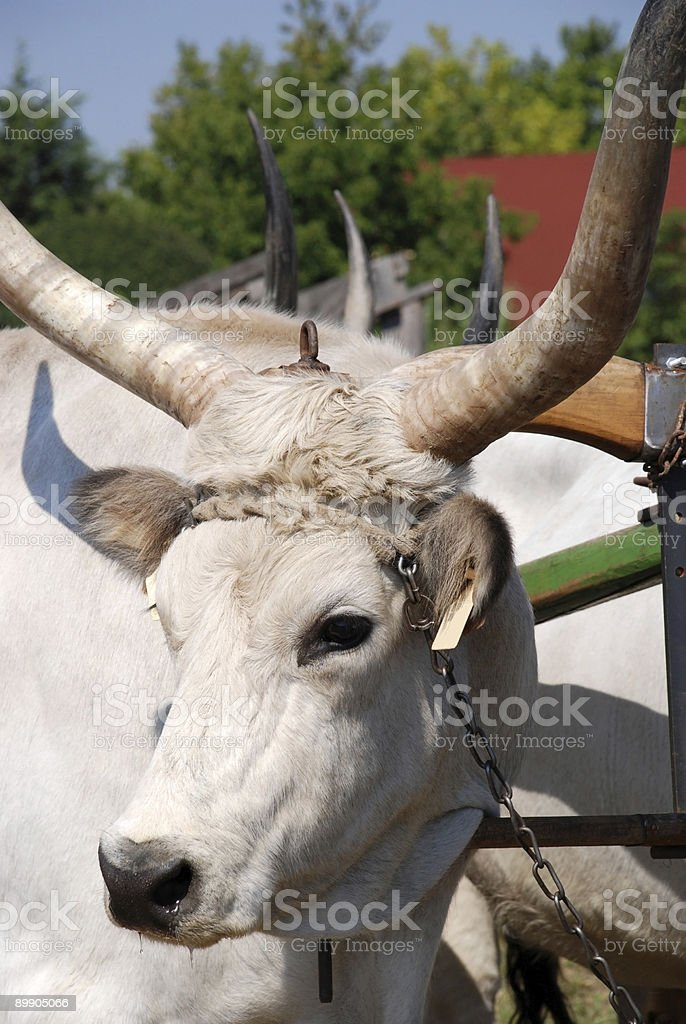 portrait of a wild cattle stock photo