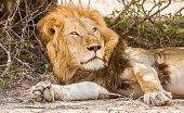 portrait of a wild male lion resting in the bush