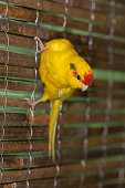 Portrait of a yellow parrot