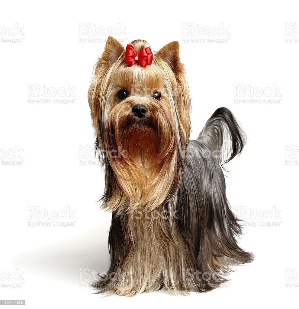 Portrait of a Yorkshire terrier dog stock photo