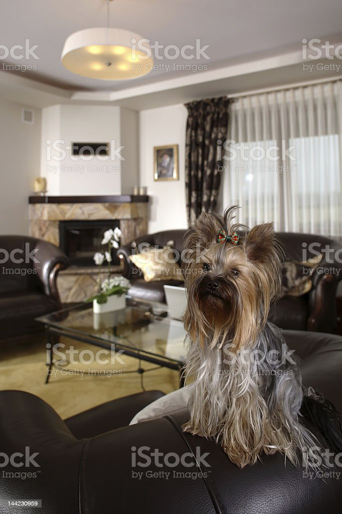 Portrait of a Yorkshire terrier royalty-free stock photo