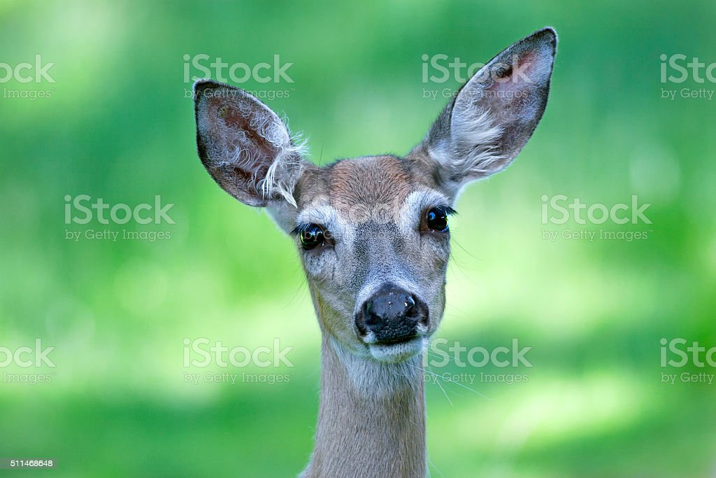 Portrait of a young doe stock photo