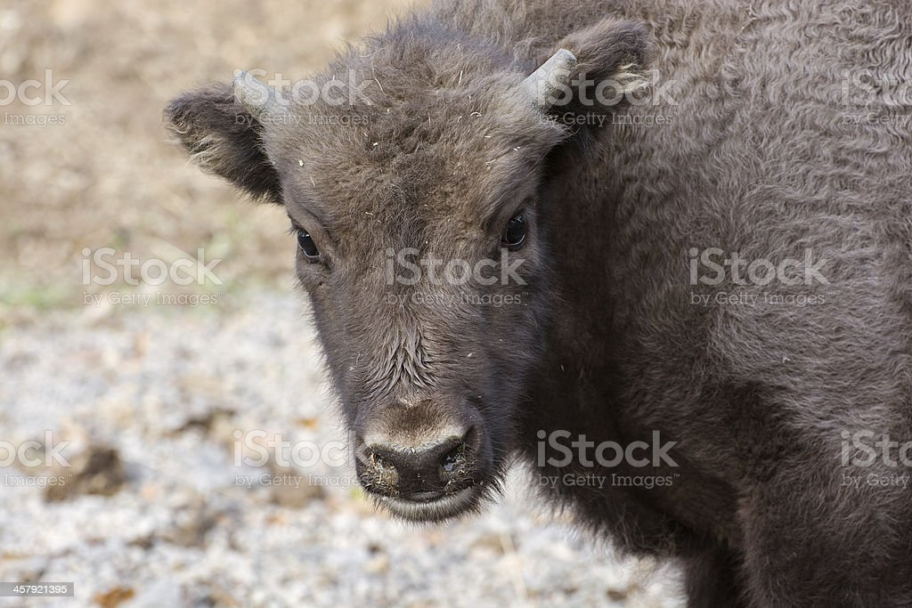 Portrait of a young European bison royalty-free stock photo