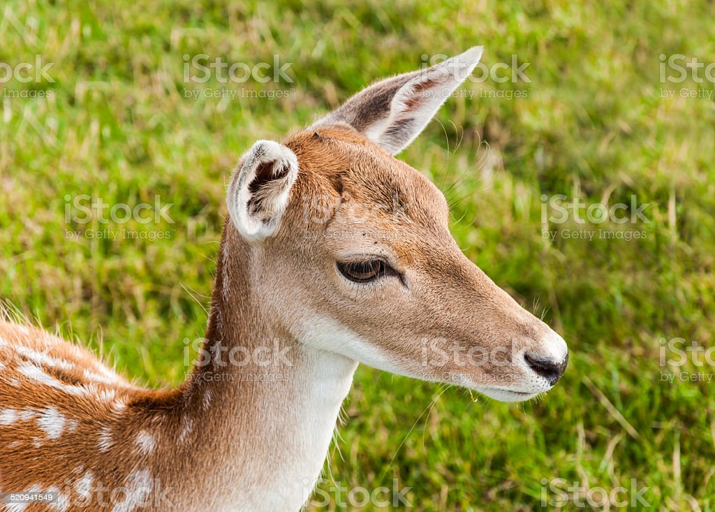 Portrait of a young fallow deer with beautiful eyes. stock photo