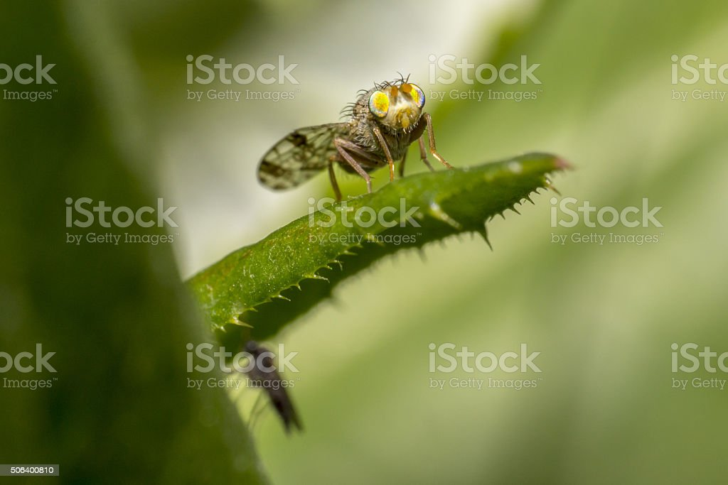 Portrait of a young gadfly stock photo