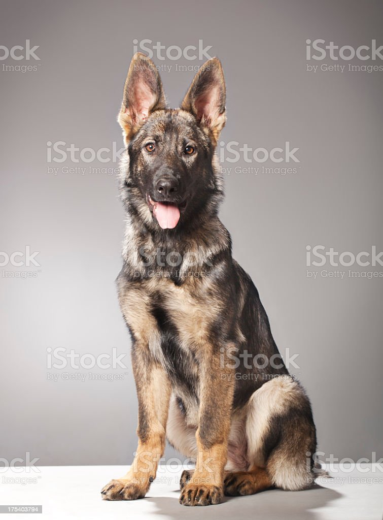 Portrait of a Young German Shephard stock photo