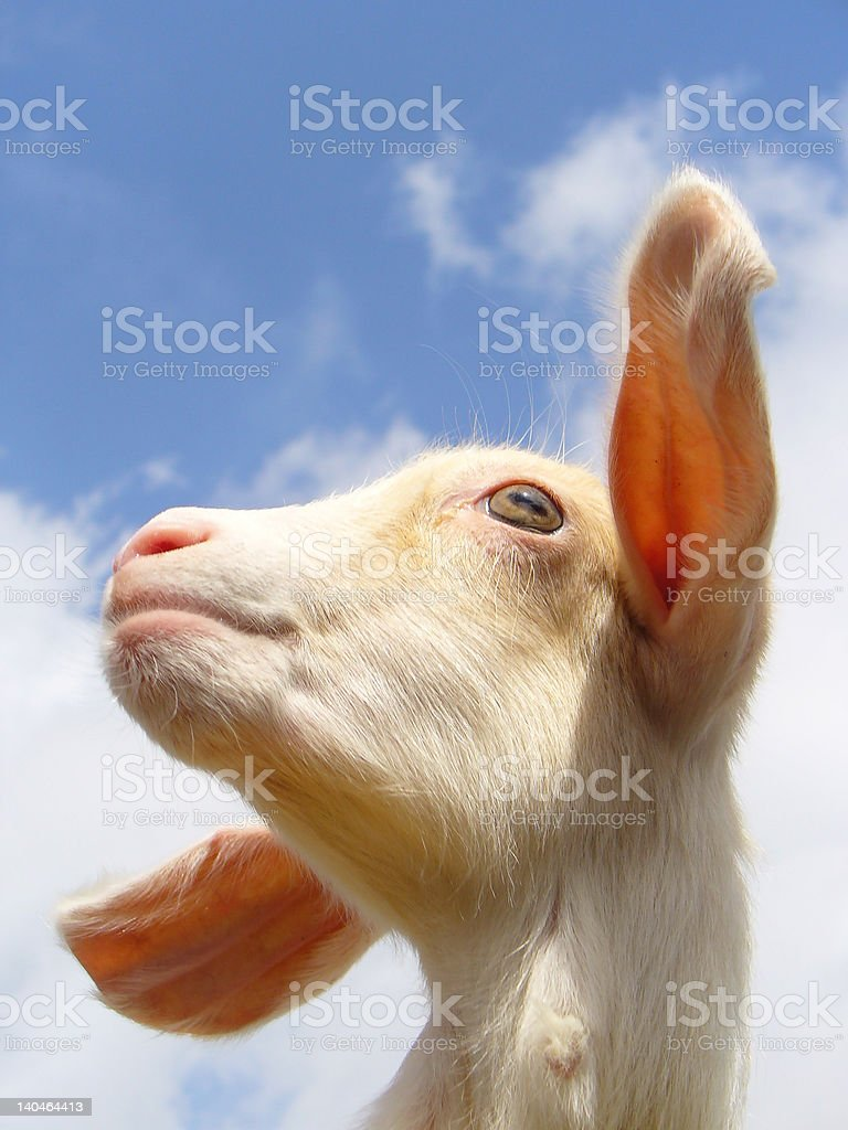 Portrait of a young Goat royalty-free stock photo