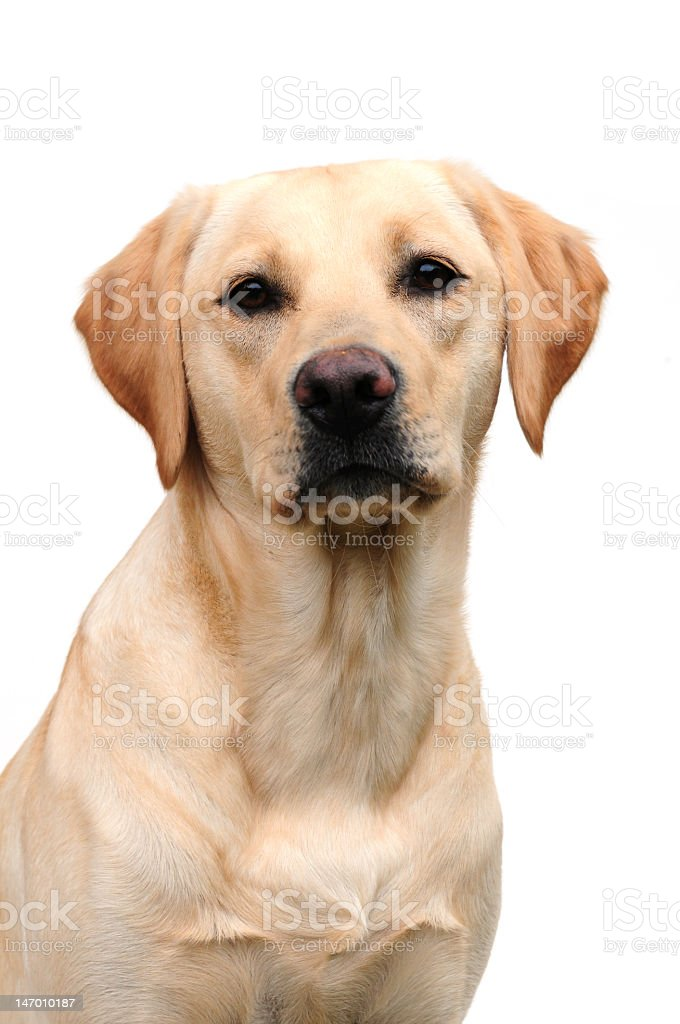Portrait of a young golden Labrador dog stock photo