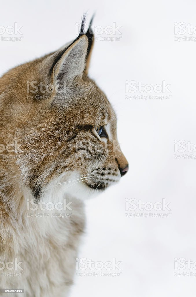 Portrait of a Young Lynx royalty-free stock photo