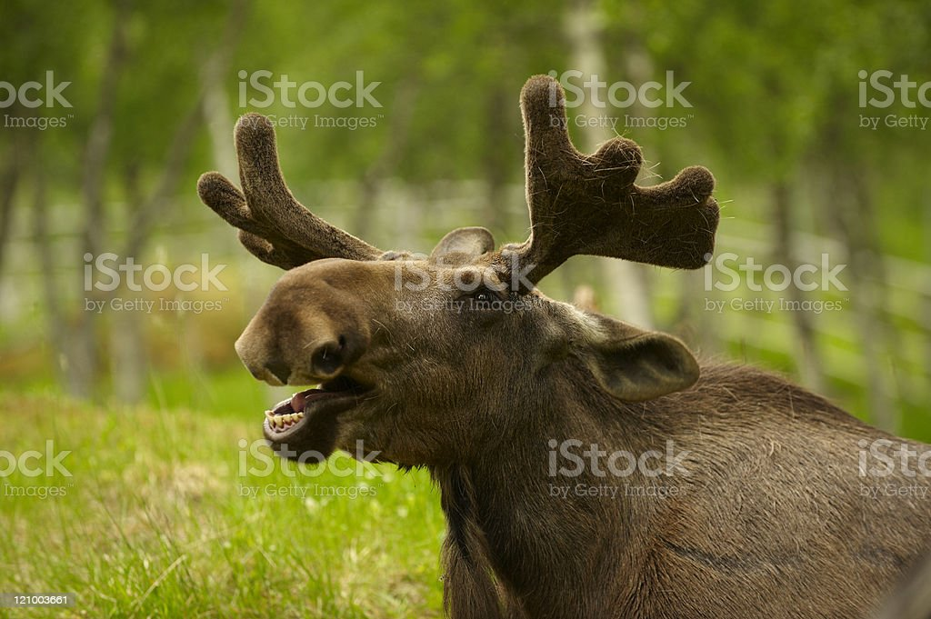 Portrait of a young male moose stock photo