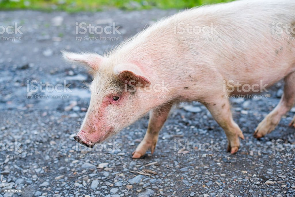 Portrait of a young pig strolling stock photo