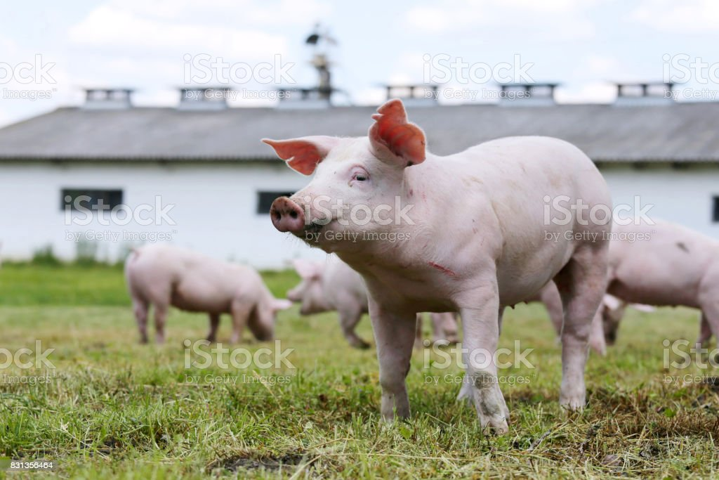 Portrait of a young piglet on breeding farm stock photo