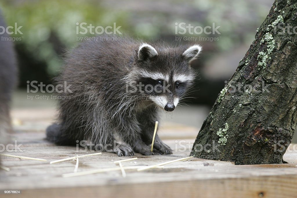 Portrait of a young raccoon royalty-free stock photo