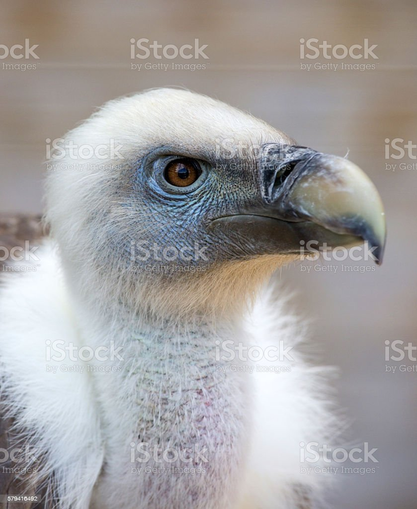 Portrait of a young white vulture stock photo